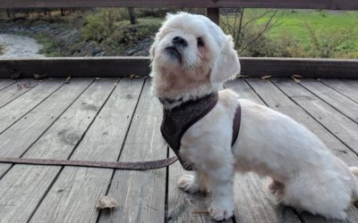 Kelsier the Lhasa Apso and Survivor of Hathsin